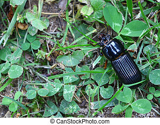A horned passalus beetles AKA a Bess beetle in the clover...