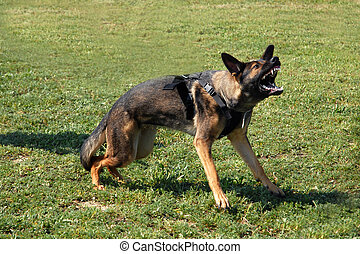aggressive german shepherd - portrait of an aggressive...