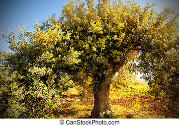 Olive tree with morning light