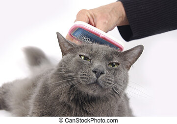 Cat loves being brushed - Beautiful mostly Russian blue cat...