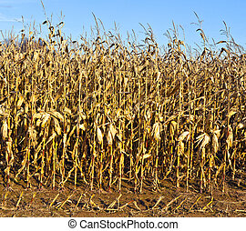 indian corn in detail with blue sky
