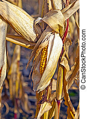 indian corn in detail