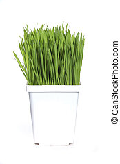 Wheat grass - Healthy green wheat grass growing in white pot...