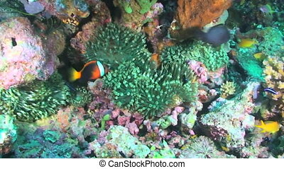 Bubble tip anemone - Various fish and green bubble tip...