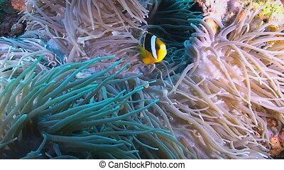 Clarke's anemonefish and Long Tenta - Clarke's anemonefish,...
