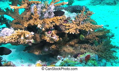 Hard coral and star fish - Various fish and corals, Papua...