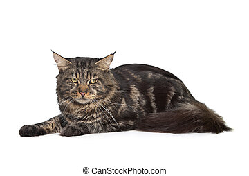 maine coon, black tabby cat in front of a white background