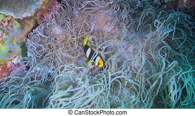 Clarkes anemonefish and Anemone - Clarke's anemonefish,...