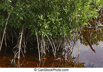 Mangroves - Beautiful mangroves in shallow water