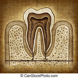 Tooth Anatomy In Grunge Texture - Tooth inner anatomy old...