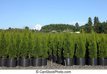 Outdoor nursery, rural Oregon - Pine tree seedlings in an...