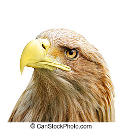 Eagle head isolated on white