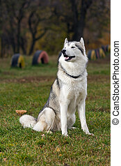 Siberian Husky - Portrait of a Siberian Husky dog outdoors