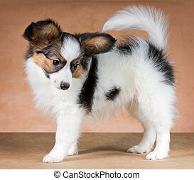 Papillon puppy - Puppy of breed papillon on a beige...