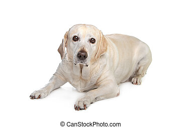 scared labrador dog in front of a white background