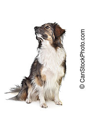 mixed breed tri-colored dog in front of a white background