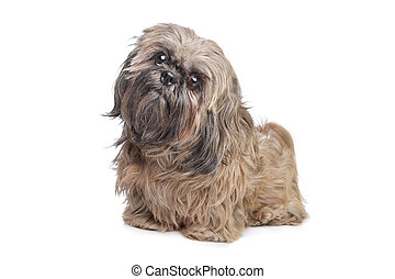 Brown Shih Tzu dog in front of a white background