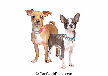 Chihuahua, mezcla, Miniatura, Pincher