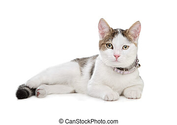 short-haired cat in front of a white background