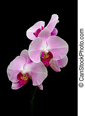 orchids blooming branch on a black background