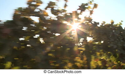 Grapevine tracking - This is a tracking shot of a California...