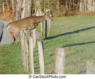 Whitetail deer leaping fence - Whitetail deer buck jumping...