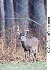 Whitetail buck - Large whitetailed deer buck standing near...