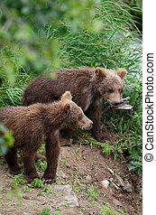 Grizzly bear cubs - Alaskan brown bear cubs standing near...