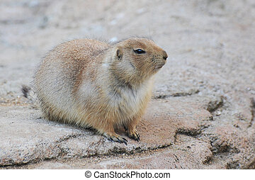 prairie dog, Cynomys ludovicianus, in the nature
