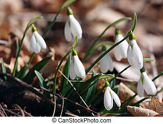 snowdrops - little snowdrops flowers growing at the spring...