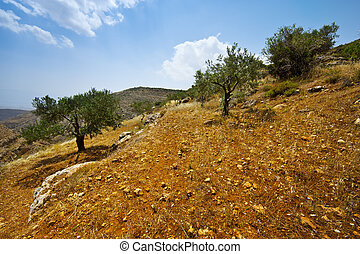 Olive Grove on the Slopes of the Mountains of Samaria,...