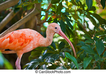 Young Scarlet Ibis, Eudocimus ruber stands on a tree branch