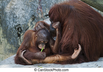 Orangutans - Adult Female Orangutan with her little baby