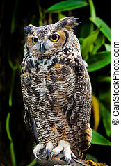 Great Horned Owl, Bubo virginianus, also known as the Tiger...