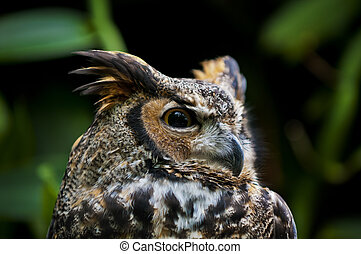 Great Horned Owl, (Bubo virginianus), also known as the...