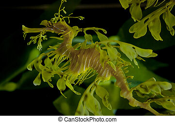 Leafy Dragon Seahorse - Leafy seadragon also known as...