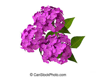 Pink Hydrangeas - Isolated Beautiful Pink Hydrangeas in 3D