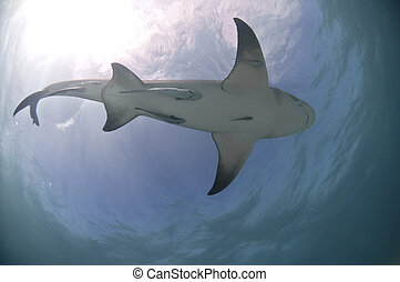 Bottom-up - The view from below of a tiger shark, Bahamas