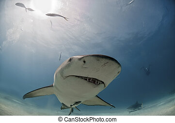 Quirky shark - A close up on a lemon shark coming by,...