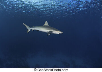 Mackerel shark - The view of a single mackerel shark passing...