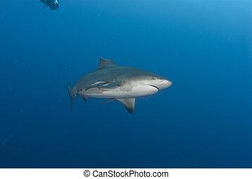 Broken fin - The view of a bull shark with a broken finn,...