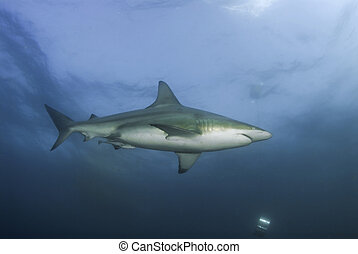Lone shark - The view of a single blacktip shark swimming...