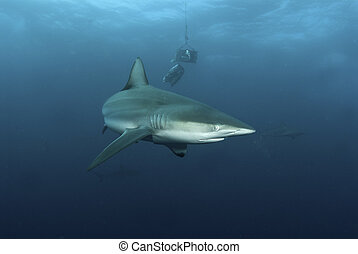 Shark behavior - The view of a blactip shark being...