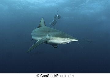 Shark behavior - The view of a blactip shark being...