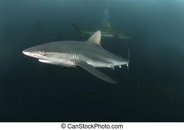 Nosy shark - A close up on a nearing blacktip shark, KwaZulu...