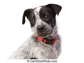 Texas Blue Heeler Pup 11 weeks old