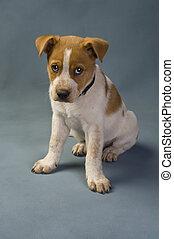 Texa Red Heeler - Texas Red Heeler Pup 11 weeks old.
