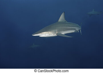Shark encounter - The view of a blacktip shark swimming...