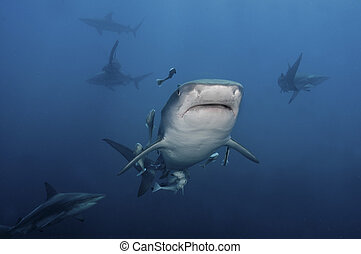 Face on - The view of tiger sharks swimming, KwaZulu Natal,...