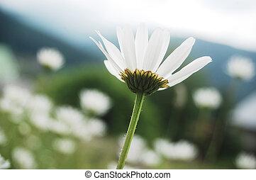 ox-eye daisy - ox eye daisy,Leucanthemum vulgare, on a...